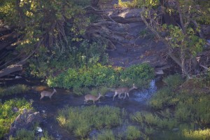 white tailed, deer, doe, walk, shallows