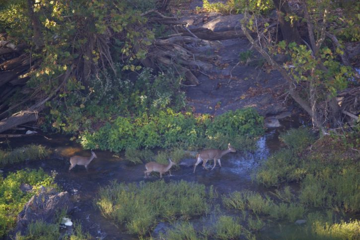 white, tailed, deer, doe, walk, shallows