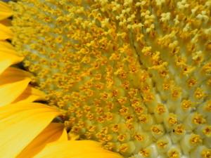 tournesol, macro, fleur, pétales