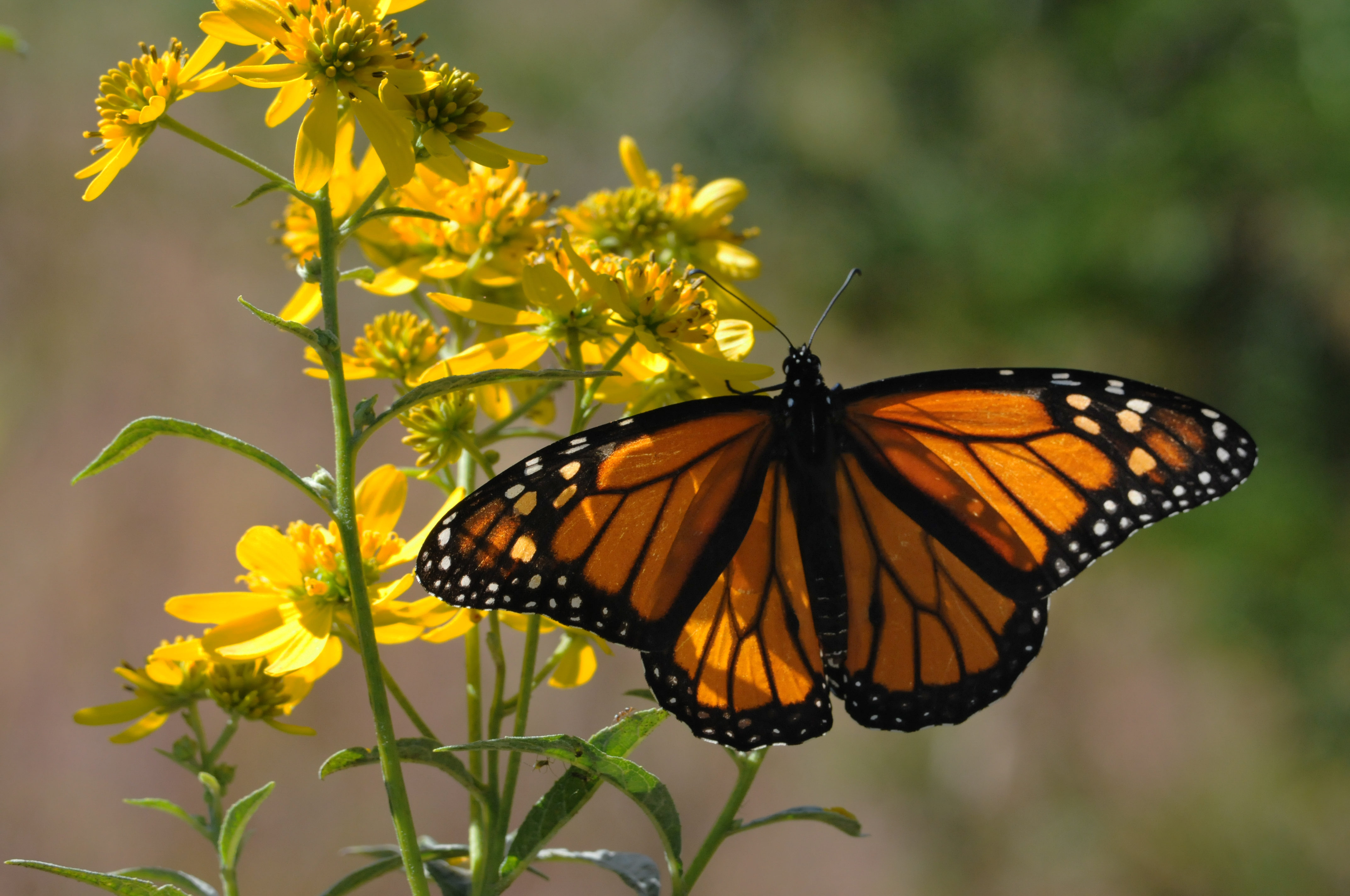 Free photograph; orange, colored, insect, Monarch, butterfly