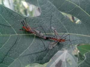 reproducción de mosquitos, insectos