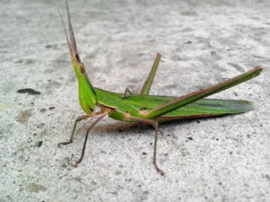 horned insect, big green insect