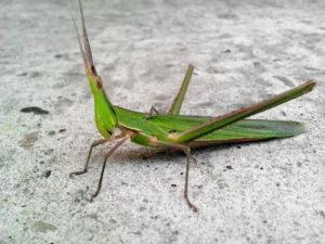 rogat insekata, veliki zeleni kukac