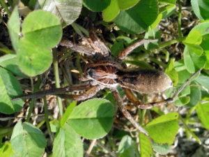 巨大的蜘蛛, 昆虫, 绿草