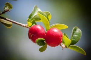 třešně, ovoce, příroda, rostliny, strom