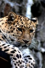 leopardo, selvatico, gatto, animale, animale, fotografia, gatto