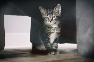 animal, chat, chaton, animal, portrait, mammifère, domestique