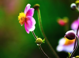 nature, pétales, plante, flore, fleur, bourgeons, fleurs