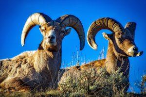 carneros salvajes, ovejas, animales, mamífero, naturaleza, montaña
