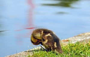 Foto gratis anatra muta maschio uccello marrone nero - Colorazione pagine animali zoo ...