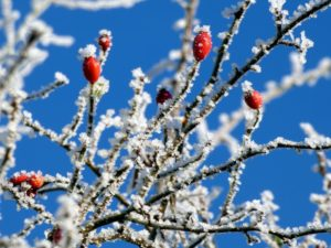 branch, foliage, frost, frosty, fruit, hawthorn, snow, tree, weather, winter