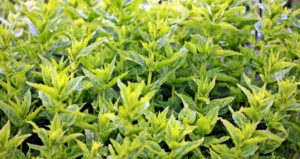 aroma, aromatic plants, agriculture, green garden, vegetable, mint, herb