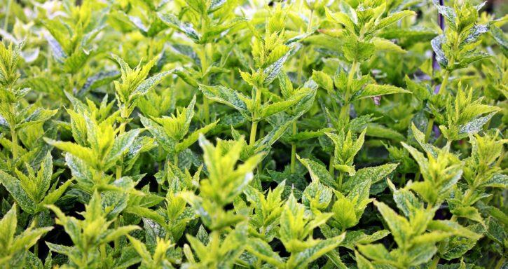 Imagen gratis aroma plantas arom ticas agricultura for Hierba jardin