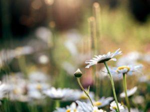 Blossom Глибина цвітіння, поля, флора, квітка