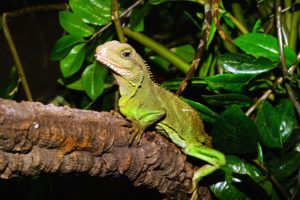 lézard, animal, iguane, feuilles, reptile, faune
