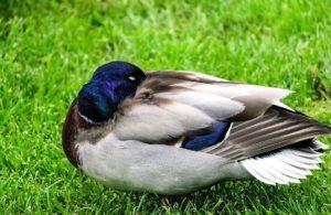 animal, bird, avian, duck, water, bird, waterfowl, wings