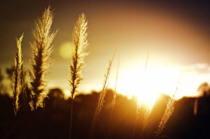 léto, slunce, západ slunce, pšenice, tráva