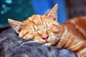 gato, sueño, gatito, animal, animal doméstico, retrato