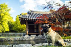 asian architecture, autumn, dog, garden, travel, trees