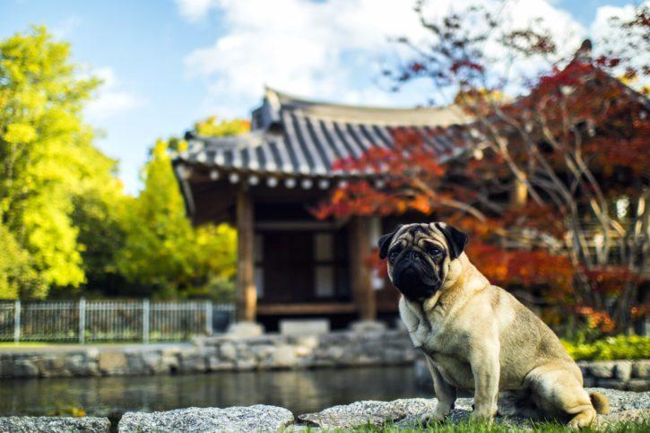 arquitetura asiática, outono, cão, jardim, viagens, árvores