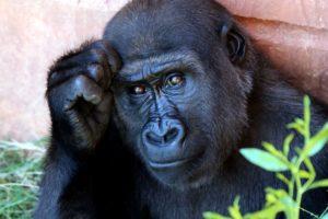 singe, primat, animal, herbivore, mammifère intelligente