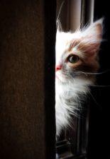 gato lindo, gato doméstico, ojo gatito, felino, piel, gatito buscando, mamífero, animal de compañía