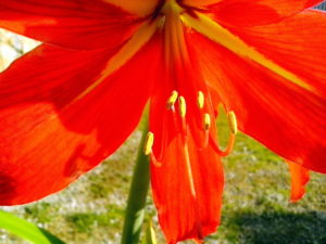 Amaryllis bloemblaadjes, nectar stamper