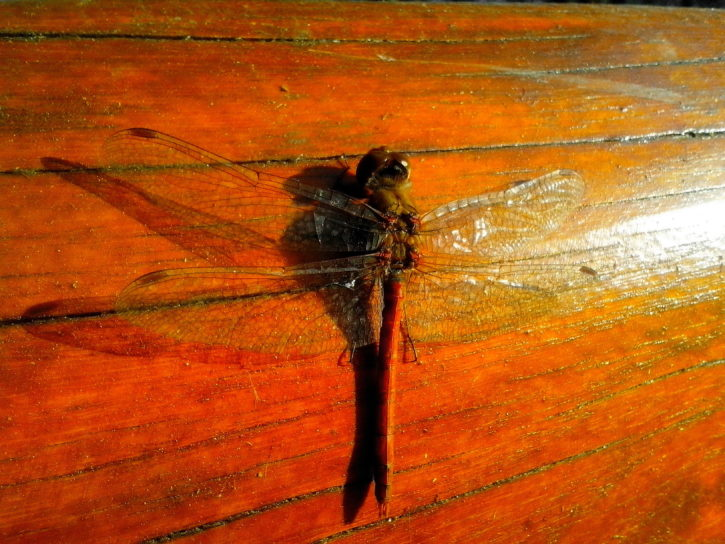 libélula de insectos, macro, alas
