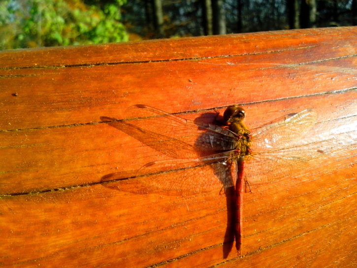 insect, dragonfly