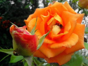 orange roses, bud flower, insect, pollination, pollen