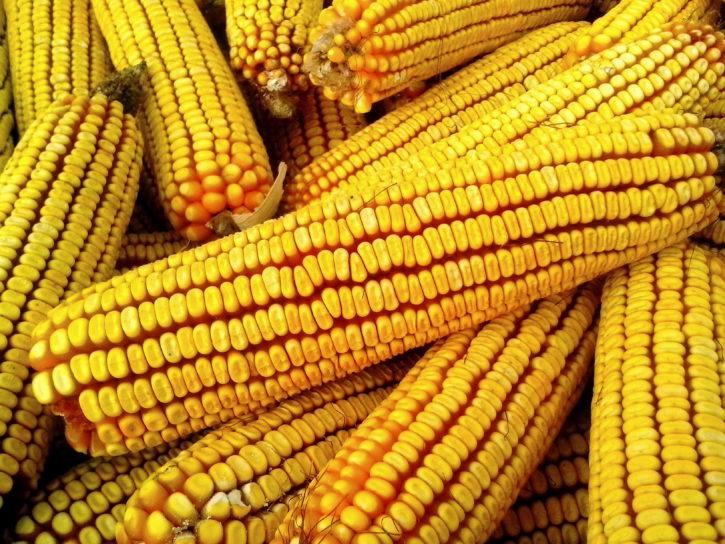 maïs jaune, plante, récolte