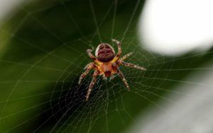 Spider, spindelvæv, tarantulla, trap, web, giftige insekt, makro