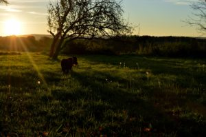field, nature, sunrays, sunrise, trees, animal, dandelions, grass