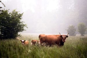 ku, dyr, storfe, feltet, gress, gressletter, Husdyr, dyr, landskap