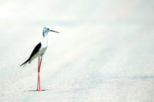 pied stilt bird, animal