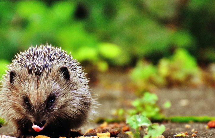 hedgehog, animal, mammal