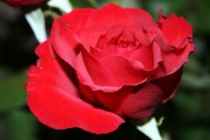 szirmok, vörös rózsa, növényvilág, virág