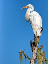 white egret bird, nature, sky, wildlife, animal, bird