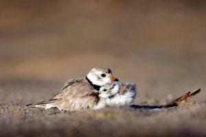 перушина, пясък, морски бряг, животни, птичи, плаж, птици