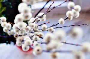 Cvjetni pupoljci, trešnje, cvijeće, list, sezonu proljeće, cvatu, cvijet