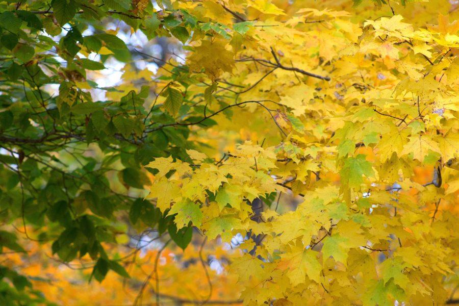 hojas, hojas amarillentas, hojas verdes, hojas, plantas, flora, naturaleza, otoño, caída, follaje, árboles, hojas