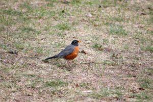 оранжеви птица, земята, кратки трева, птици, трева, животни