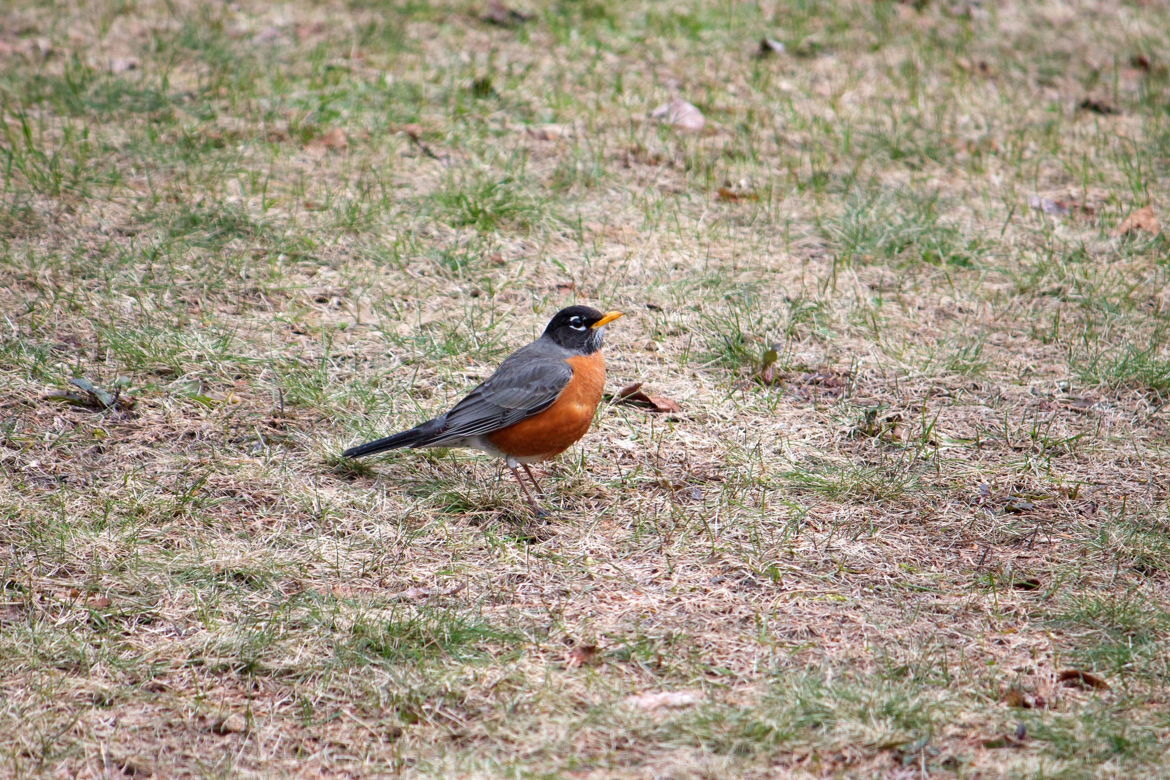 フリー写真画像 オレンジ色の鳥地面短い草鳥草動物