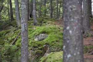 groene mos, forest moss, bossen, bos, bomen