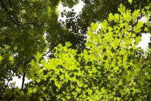 fogliame, foglie verdi, sotto gli alberi, foreste, boschi, sole, alberi, foglie