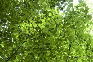 Blätter Textur, grüne Blätter, die unter Baum, Blätter