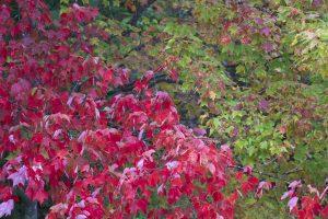feuilles rouges pourpres, chute, feuillage, feuilles, arbres