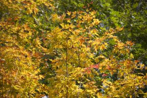 autumn foliage, yellowish leaves, leaf, autumn season, fall, foliage, leaves