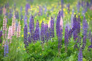vara, iarba verde, natura, Lupin flori, gazon