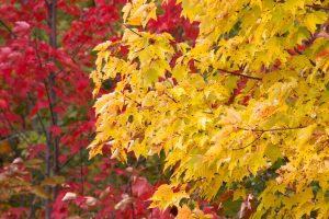 autumn leaves, yellowish leaves, red trees, foliage, fall, autumn, leaves, trees